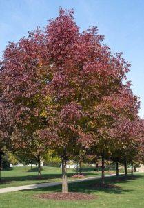 Autumn Purple Ash Tree