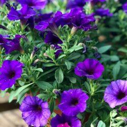 Garden Petunias