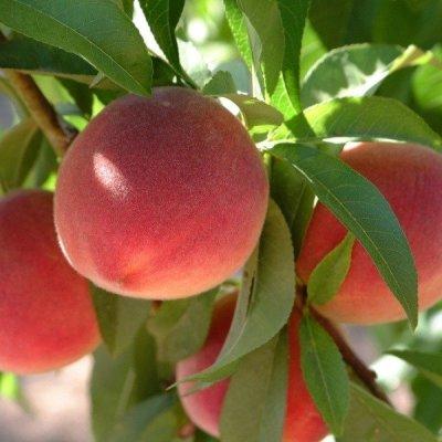 Peach 'Florida King'