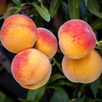 Peach 'Early Elberta'