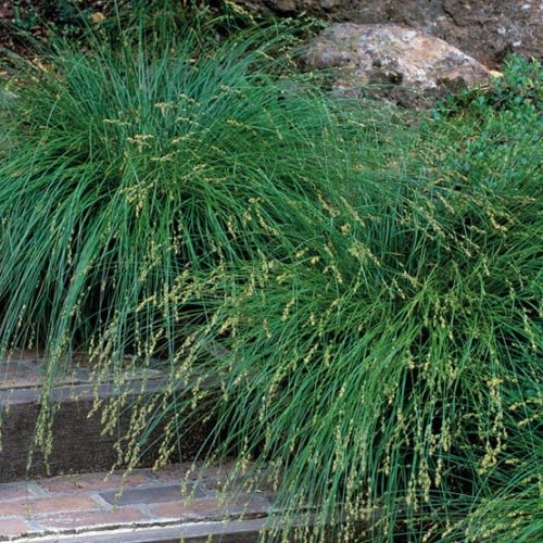 'Berkley' Sedge