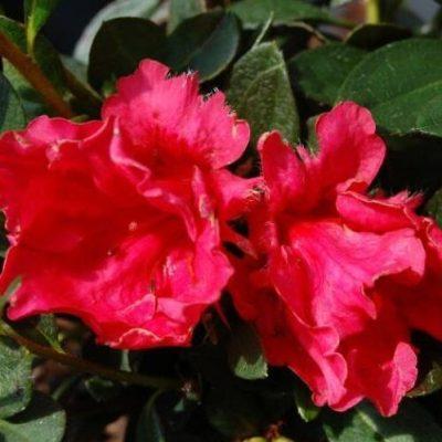 Azalea 'Red Ruffles'