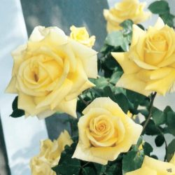Climbing Rose 'Royal Gold'