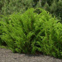 Juniper 'Sea Green'