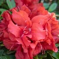 ReBloom Azalea 'Ruby Starburst'