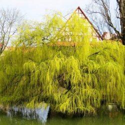 Willow 'Golden Weeping'