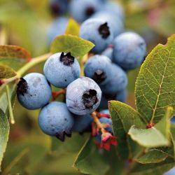 Austin Blueberry