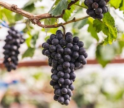 'Black Spanish' Grape
