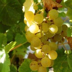 'Blanc du bois' Grape