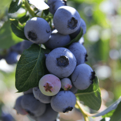 'Climax' Blueberry
