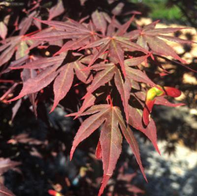 'Dragon Tears' Japanese Maple