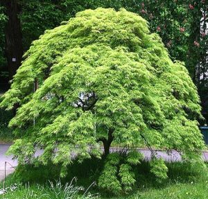 'Green Lace' Japanese Maple