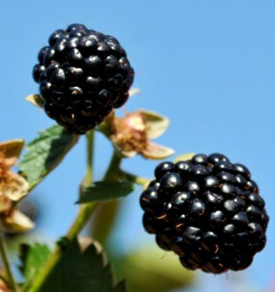 'Osage' Blackberry