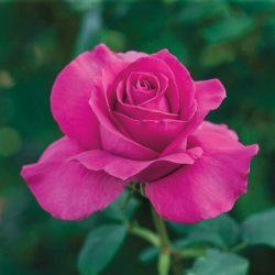 'All My Loving' Hybrid Tea Rose