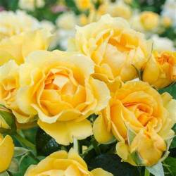 Floribunda Rose 'Julia Child'