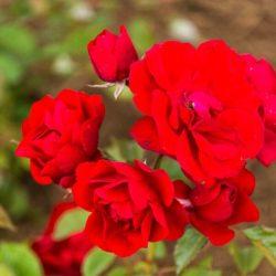 Floribunda Rose 'Showbiz'