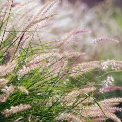 Grass 'Karley Rose'