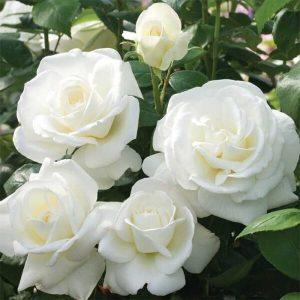 Hybrid Tea Rose 'Sugar Moon'