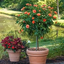'Livin Easy' Rose Patio Tree
