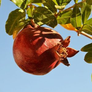 Pomegranate 'Texas Pink'
