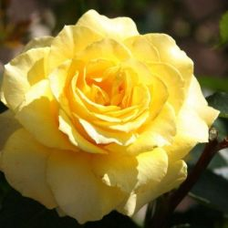 Rose Hybrid Tea 'Mellow Yellow'