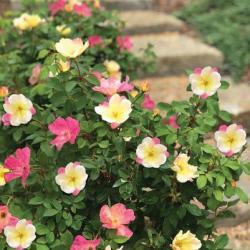 The Champion™ Rose 'Sunblush'