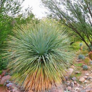 Yucca 'Rostrata'