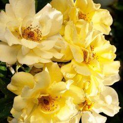 """Drift Rose 'Lemon"""""""