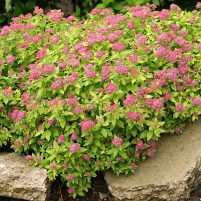 Double Play Gold Spirea