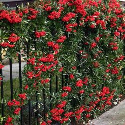 Mohave Pyracantha