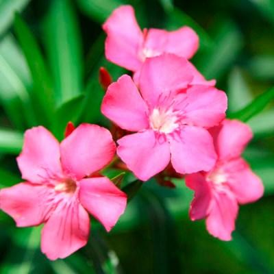 Oleander 'Calypso Pink'
