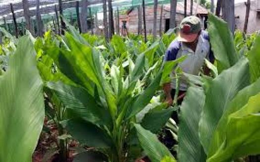 Cây nghệ vàng là một trong những loại cây dược liệu quý ở nước ta