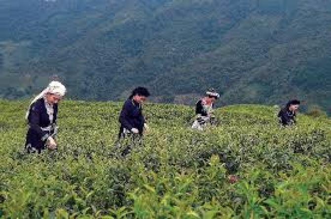 Kỹ Thuật Chăm Sóc Cây trà xanh