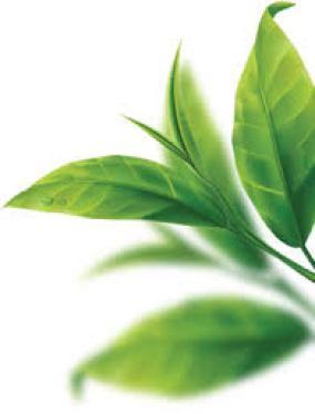 Nguyên liệu cần chuẩn bị khá đơn giản, chỉ cần lá trà xanh