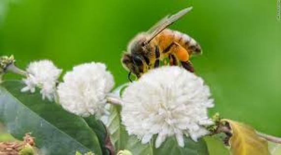 Tương tự như mật ong hoa nhãn thì mật ong cà phê có giá nhẹ hơn 1 chút.