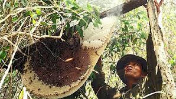 Còn giámật ong rừng nguyên chất thì sao?