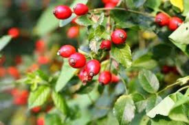 Cây tầm xuất vốn là một dạng hoa hồng leo có xuất xứ từ các nước Châu Âu, khu vực Tây Á và Tây Bắc Phi.