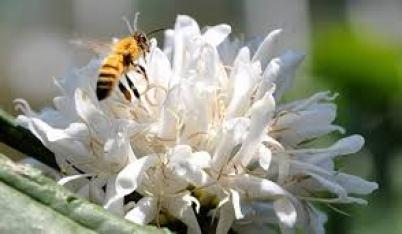 Mật ong cà phê được xem là loại mật hoa nguyên chất nhất.