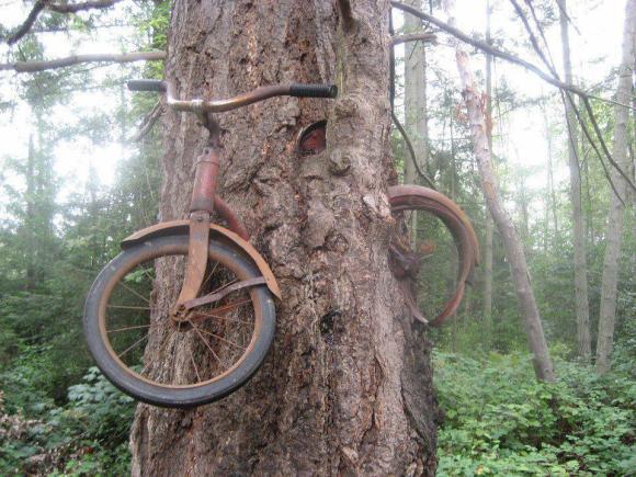 60 jaar geleden vastgemaakt aan een kleine boom [bron onbekend]