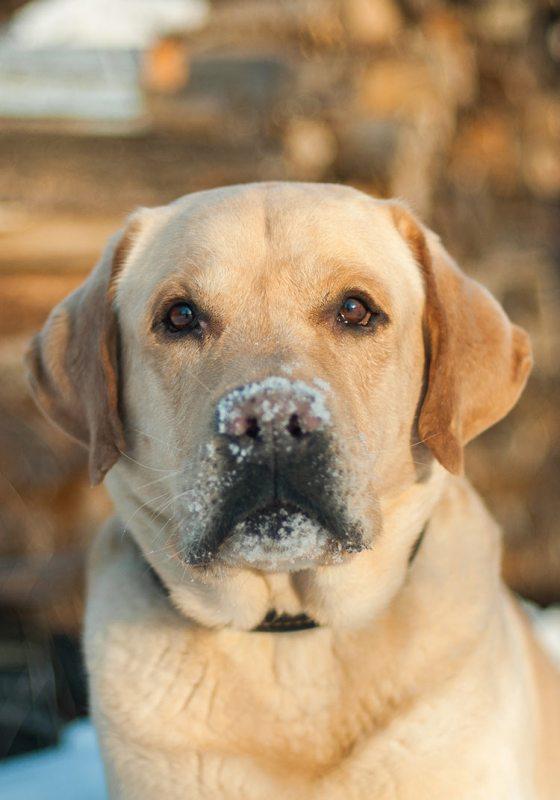 4 English Labrador Retriever Characteristics That Makes Them