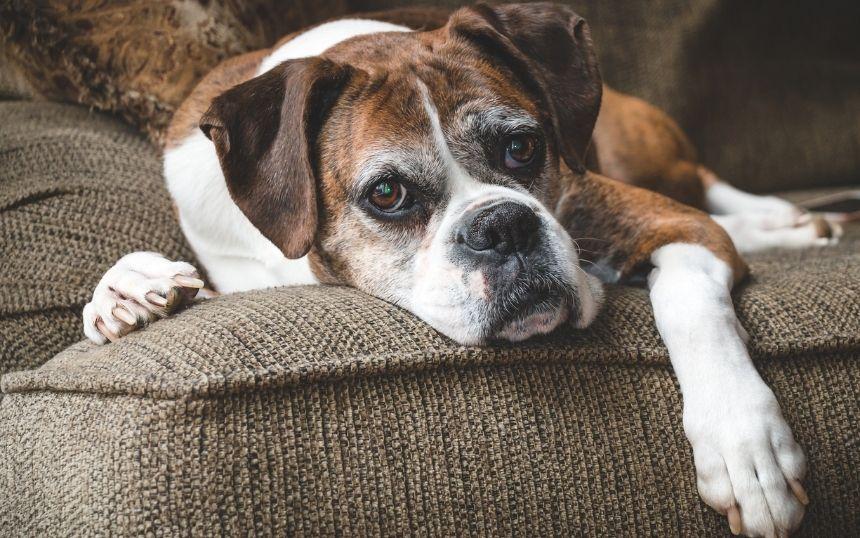 Essential Items To Care for a Senior Dog