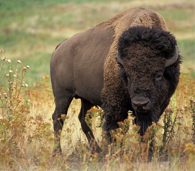 Bison Attacks Woman Sorely