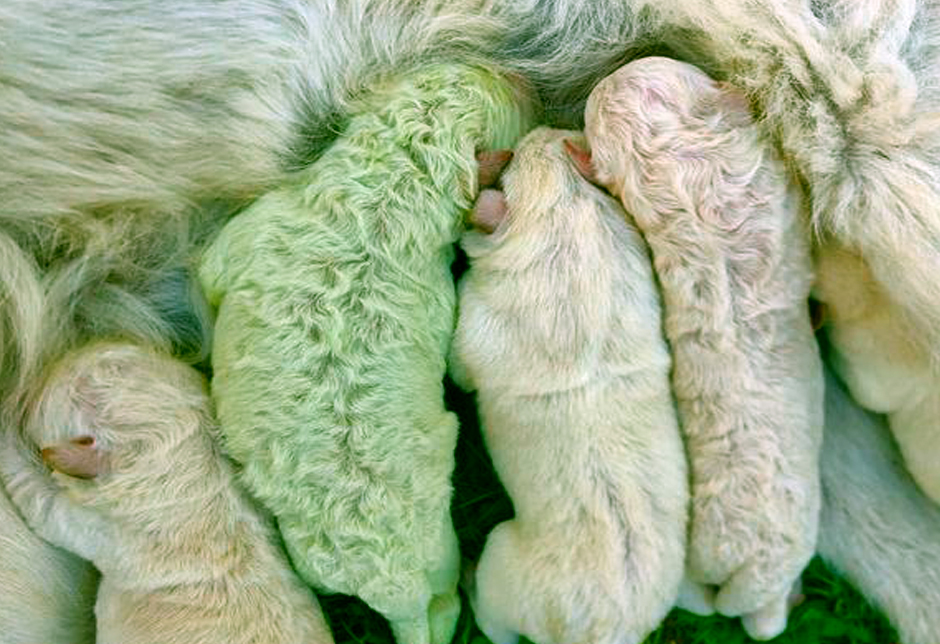 Green Puppy Born In Italy