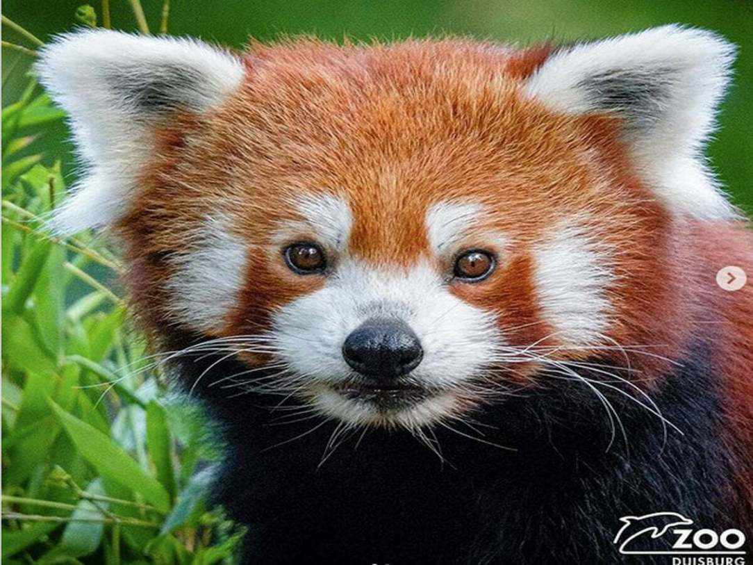 Duisburg Zoo: The Lost Red Panda Was Found