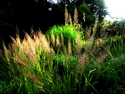 Grasses at Veddw. Copyright Anne Wareham, gardens to visit, Monmouthshire, South wales, Welsh garden, for thinkingardens