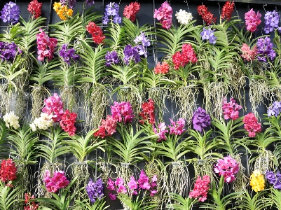 Vanda wall Orchids at Kew copyright Susanne Masters for thinkingardens