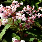 Persicaria campanulata Early July 2 Veddw Copyright Anne Wareham s