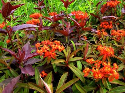 Euphorbia griffithii and Lysimachia ephemerum 'Firecracker' at Veddw copyright Anne Wareham