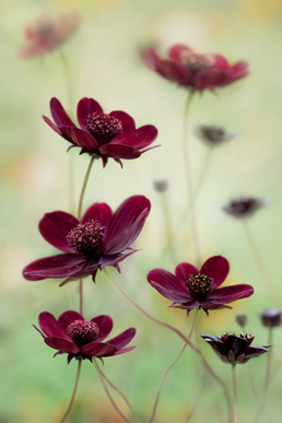 First Plant Portraits Mandy Disher Cosmos atrosanguieus 'Choa Mocha' Ist place plant portraits IGPOTY
