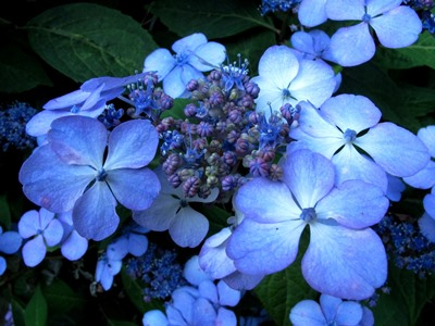 Hydrangea flower , Veddw copyright Anne Wareham for thinkingardens